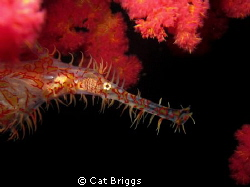 Ornate ghost pipefish by Cat Briggs